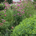 Plants for the Home Wildlife Garden