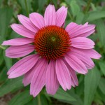 purple_cone_flower